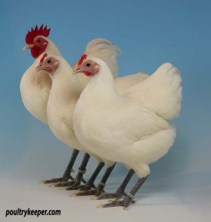 White German Langshan Bantams